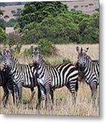 Grants Zebras, Kenya Metal Print