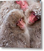 Japanese Macaques, Japanese Alps Metal Print