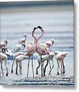 Lesser Flamingoes Phoeniconaias Minor Metal Print