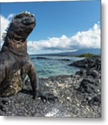 Marine Iguana Basking On Coast Metal Print