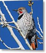 Northern Flicker Woodpecker Metal Print