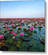 Sea Of Red Lotus , Marsh Red Lotus Metal Print