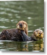 Sea Otter Mother Carrying Pup, Elkhorn Slough Metal Print