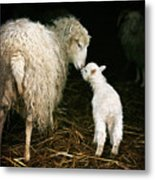 Sheep With A Lamb Standing In The 1 Metal Print