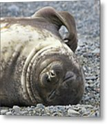 Southern Elephant Seal Weaner Pup Metal Print