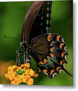 Spicebush Swallowtail On Lantana Blooms Metal Print