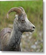 Stone's Sheep Metal Print