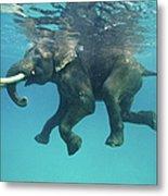 Swimming Elephant Metal Print