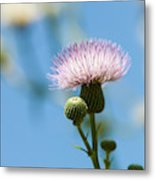 Thistle With Blue Sky Background Metal Print