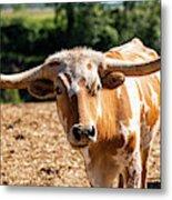 Longhorn Bull In The Paddock Metal Print