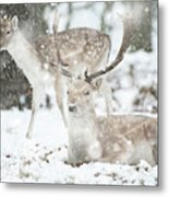 Beautiful Image Of Fallow Deer In Snow Winter Landscape In Heavy Metal Print