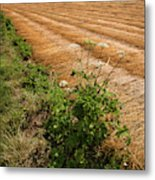 Field With Brown Cut Flax In Rows Drying In The Sun Metal Print