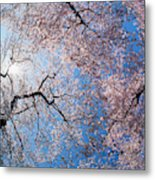 Low Angle View Of Cherry Blossom Trees Metal Print
