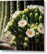 Saguaro Blossoms  Metal Print