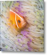 This Common Anemonefish  Amphiprion Metal Print
