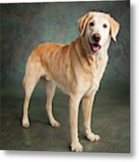 Portrait Of A Labrador Mixed Dog Metal Print