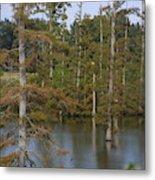 Tennesse Cypress In Wetland  Metal Print