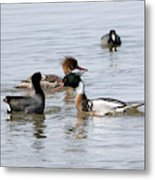 Red-breasted Merganser Metal Print