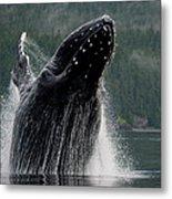 Breaching Humpback Whale, Alaska Metal Print