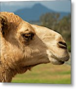 Camel Out Amongst Nature Metal Print