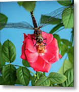 Dragonfly On A Flower Of A Red Rose. Macro Photo Metal Print