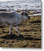 Svalbard Reindeer Metal Print