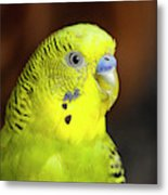 Portrait Of Budgie Birds Metal Print