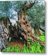 Old Olive Tree Metal Print