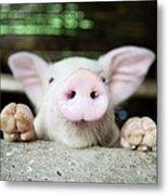 A Baby Pig In Its Pen Metal Print