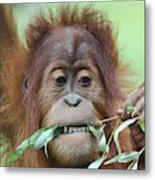 A Close Portrait Of A Young Orangutan Eating Leaves Metal Print