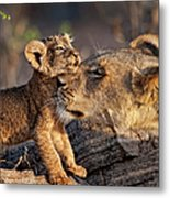 A Female Lion Panthera Leo And Her Cub Metal Print