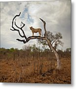A Female Lion Standing On Bare Branch Metal Print