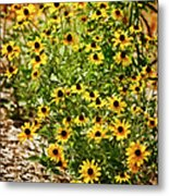 A Group Of Bossoming Black-eyed Susans Metal Print