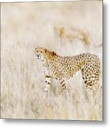 A Pair Of Cheetahs Move Steathily Through The Long Grass Of The  Metal Print