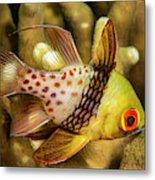 A Pajama Cardinalfish  Sphaeramia Metal Print