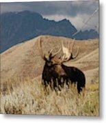 A Really Big Moose Metal Print
