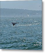 A Whale's Tail Above Water With Sail Boat In The Background Metal Print