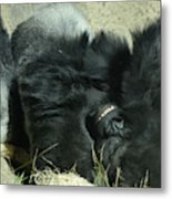 Adult Silverback Gorilla Laying Down With Anguished Expression Metal Print