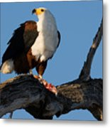 African Fish Eagle Haliaeetus Vocifer Metal Print