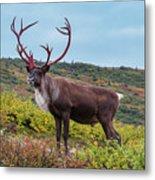 Alaska Caribou In Denali National Park Metal Print