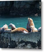 Alaska Steller Sea Lions Metal Print