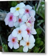 Alpine Rockjasmine Up Close Metal Print