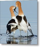 American Avocets, Courtship Dance Metal Print