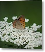 American Copper On Queen Anne's Lace Metal Print
