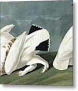American Ptarmigan, Tetrao Mutus, White Tailed Grous, Tetrao Leucurus Metal Print