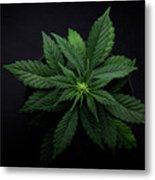 Arijuana Leaves On A Black Background Metal Print