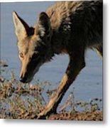 Arizona Coyote  Metal Print