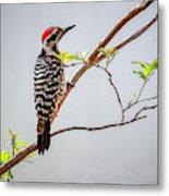 Arizona Ladderback Woodpecker Metal Print