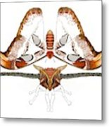Atlas Moth2 Metal Print