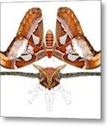 Atlas Moth4 Metal Print